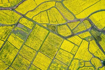 aerial view of rapeseed flower blooming in farmland Wall mural