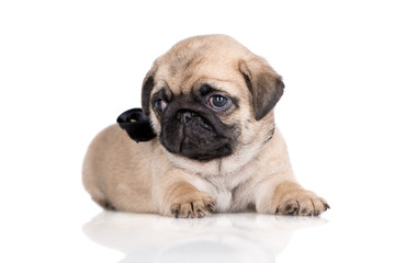 adorable fawn pug puppy lying down