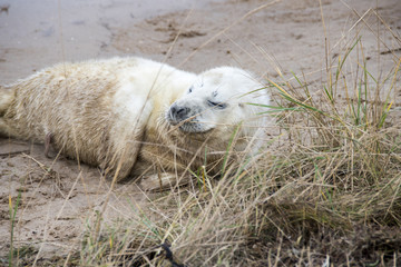 Donna Nook, Lincolnshire, UK – Nov 15: Cute fluffy newborn baby grey seal pup lying on the beach on 15 Nov 2016 at Donna Nook Seal Sanctuary, Lincolnshire Wildlife Trust