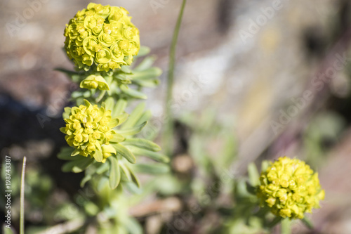 Yellow flowers of a succulent plant composition stock photo and yellow flowers of a succulent plant composition mightylinksfo