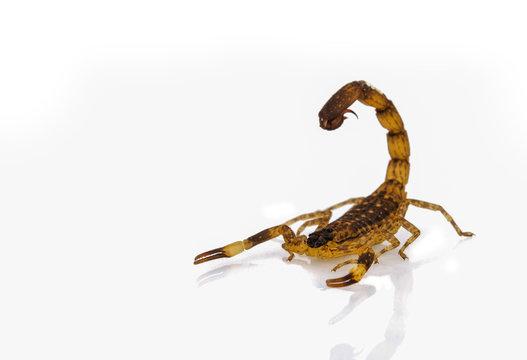 dangerus scorpion isolated on white background