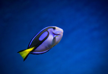 Regal Tang fish on a nice blue underwater background