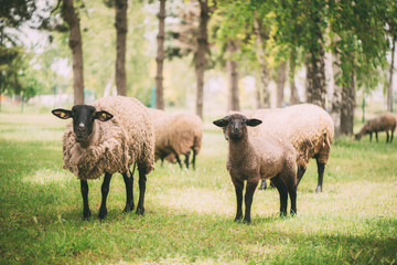 Flock Of A Sheep Grazing On A Meadow