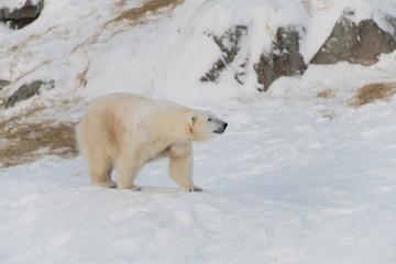 White bear walking