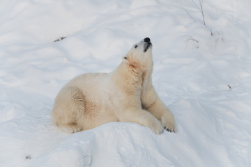 Polar bear relaxing on snow