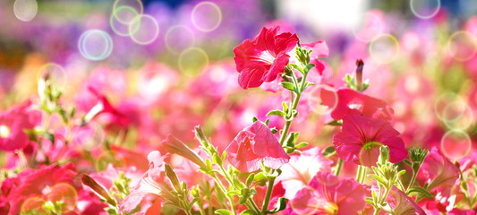 red mallow flowers on flowerbed,  shallow depth of field, bokeh, toned, suitable for header or banner
