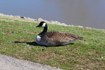 The goose in the green grass near the water of the lake.