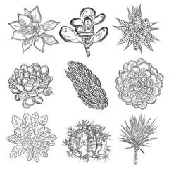 Set of succulents, cactus bouquet, Echeveria drawings, botanical vector.