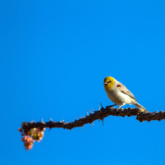 Tiny, yellow-headed Verdin perches at dawn on an Ocotillo cactus in the Sonoran Desert of Arizona