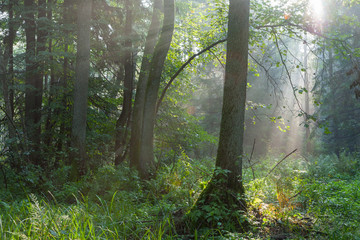 Fototapete - Misty forest in morning