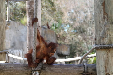 Baby Orangutan Playing on a Rope / Baby Animals