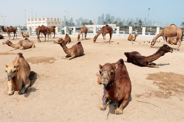 camel market in Doha, Qatar