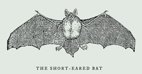 the short-eared bat (myotis ikonnikovi) spreading its wings in frontal view (after a vintage woodcut, illustration, engraving from the 17th century)