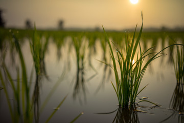 View of paddy field during sunrise in Sungai Besar, a well known place as one of the major rice supplier in Malaysia.
