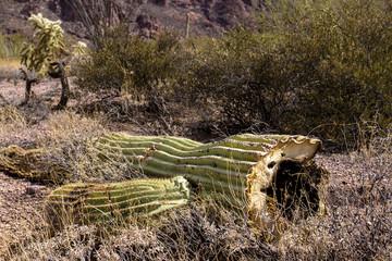 Broken Giant Saguaro Cactus in Organ Pipe Cactus National Monument in southern Arizona