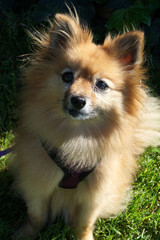 Pomeranian in the park