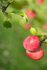 Sweet apples ripening on a tree branch. Natural green background with copy space.