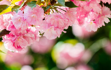 pink flowers of blossoming cherry on the branch