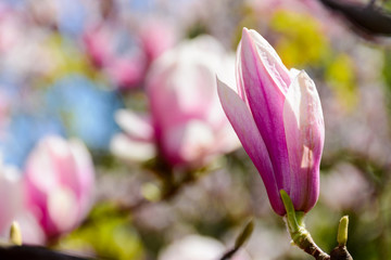 blossom of magnolia tree in springtime. beautiful nature background with purple flowers on the branches