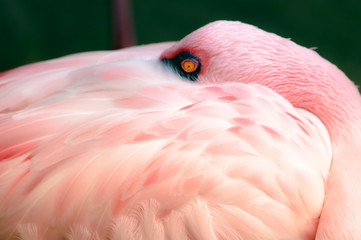 Pink Flamingo Feeling Shy