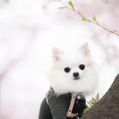 チワワと桜 8