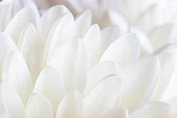 Petals of a white chrysanthemum close-up on a white background.