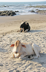 Black and white cow or bull lie or rest on the beach, on the sea. Cow India. Cows on the beach