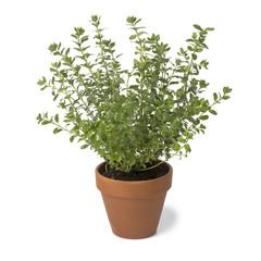 Brown terra cotta pot with fresh Oregano