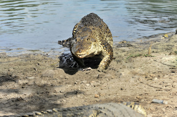 Kubakrokodile (Crocodylus rhombifer), Vorführung Krokodilfarm Criadero de Cocodrilos, Parque Natural Ciénaga de Zapata, Halbinsel Zapata, Kuba, Große Antillen, Mittelamerika, Amerika, Mittelamerika
