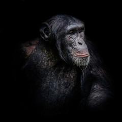Chimpanzee portrait isolated on black background