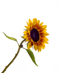 Rare sort of Dutch sunflower isolated on white background