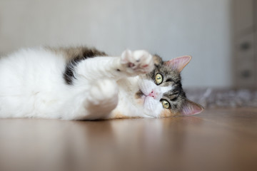 beautiful fluffy cat  resting indoors