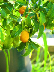 Vibrant orange citrus fruits on a Kumquat tree