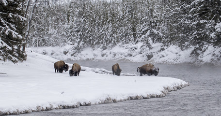 bison herd at snowy bend in the forested yellowstone river