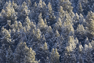 pine tree forest canopies covered in snow