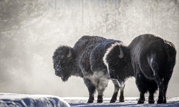 frosty bison steam breath yellowstone