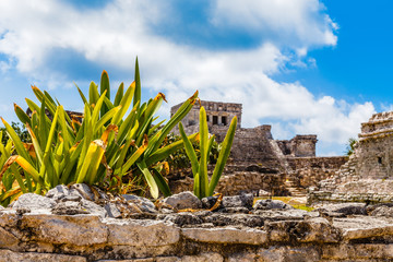 Agave plant on the old ruined wall with ancient Mayan temple in the background, Tulum, Yucatan, Mexico