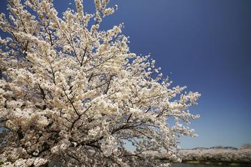青空バックの桜並木