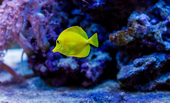 bright yellow fish in the aquarium