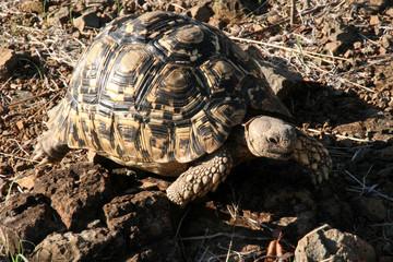 Leopard tortoise, Stigmochelys pardalis, in Victoria falls South Africa