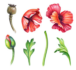 botanical watercolor illustration, colorful poppies collection, bouquet arrangement, design elements, rustic poppy flowers clip art, isolated on white background