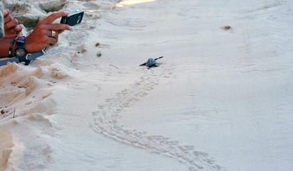 Lampedusa Islan, Italy - september 14, 2012: a newborn sea turtle runs towards the sea among tourists