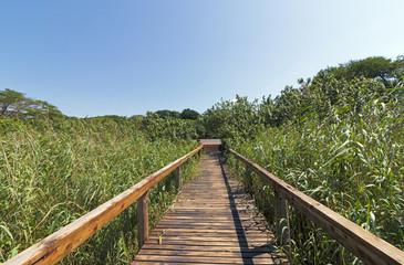 Empty Wooden Boardwalk Leading Through Green Wetland Vegetation