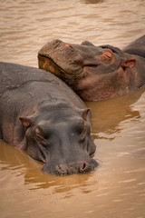 Close-up of two sleeping hippopotamus in pool