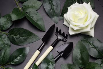 top view gardening tools , whiterose, green rose leaves