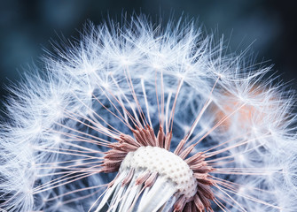 Photo sur Toile Pissenlit beautiful natural background of airy light dandelion flower with white light seeds on plant head