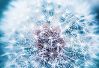Photo sur Aluminium Pissenlit beautiful natural background of airy light dandelion flower with white light seeds