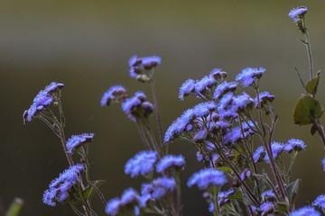Beautiful lucky purple Flower Santa Lucia