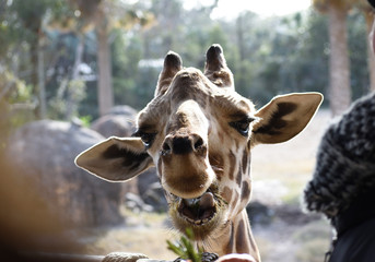 photo of the giraffe asking for her food