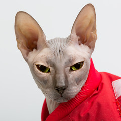 Bold sphinx cat in red clothes close studio portrait looking at camera